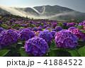 陽明山 紫陽花 アジサイの写真 41884522