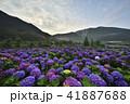 陽明山 紫陽花 アジサイの写真 41887688
