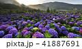陽明山 紫陽花 アジサイの写真 41887691