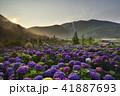 陽明山 紫陽花 アジサイの写真 41887693