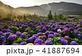 陽明山 紫陽花 アジサイの写真 41887694