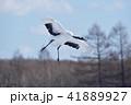 着陸するタンチョウ(北海道・鶴居) 41889927