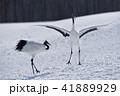 タンチョウ 鳥 踊るの写真 41889929