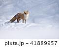 キタキツネ 冬 動物の写真 41889957