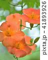 ノウゼンカズラ 花 植物の写真 41893926