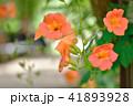 ノウゼンカズラ 花 植物の写真 41893928
