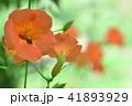 ノウゼンカズラ 花 植物の写真 41893929