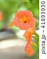 ノウゼンカズラ 花 植物の写真 41893930