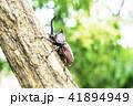 カブトムシ 昆虫 甲虫の写真 41894949