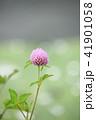 花 赤詰草 マメ科の写真 41901058