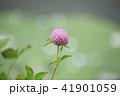 花 赤詰草 マメ科の写真 41901059
