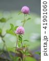 花 赤詰草 マメ科の写真 41901060
