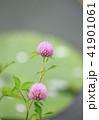 花 赤詰草 マメ科の写真 41901061