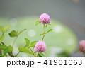 花 赤詰草 マメ科の写真 41901063