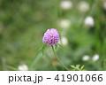 花 赤詰草 マメ科の写真 41901066
