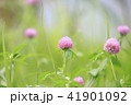 花 赤詰草 マメ科の写真 41901092