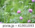 花 赤詰草 マメ科の写真 41901093