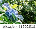 【神奈川県】あじさい 41902618
