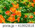 ノウゼンカズラ 花 植物の写真 41902818
