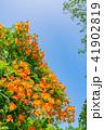 ノウゼンカズラ 花 植物の写真 41902819