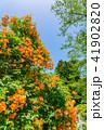 ノウゼンカズラ 花 植物の写真 41902820