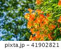 ノウゼンカズラ 花 植物の写真 41902821