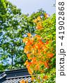 ノウゼンカズラ 花 植物の写真 41902868