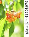 木になっているサクランボ 41903979
