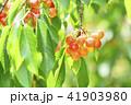 木になっているサクランボ 41903980