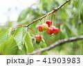 木になっているサクランボ 41903983