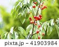 木になっているサクランボ 41903984