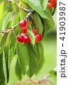 木になっているサクランボ 41903987