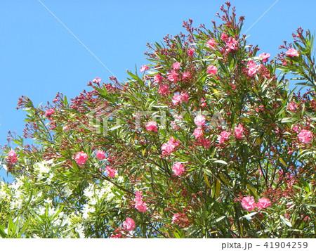 千葉市の花木キョウチクトウの赤い花と白い花 41904259