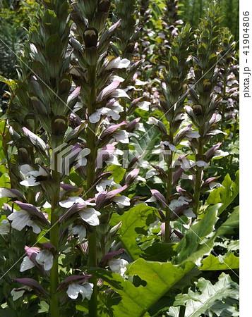 大きなトラノオのようなアカンサスの白い花 41904806
