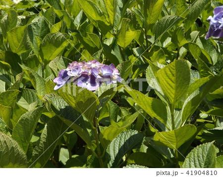 夏を彩る紫色のガクアジサイの花 41904810