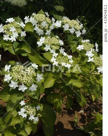 夏を彩る白色のガクアジサイの花 41904811