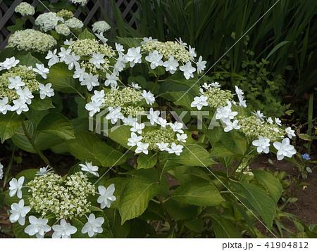 夏を彩る白色のガクアジサイの花 41904812