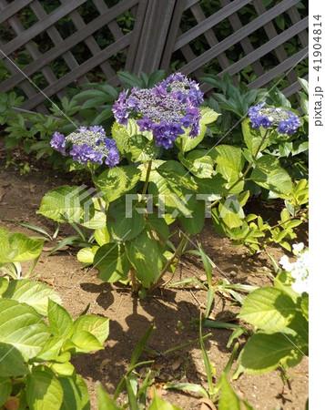 夏を彩る紫色のガクアジサイの花 41904814