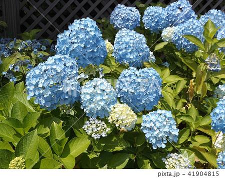 夏を彩る空色のガクアジサイの花 41904815
