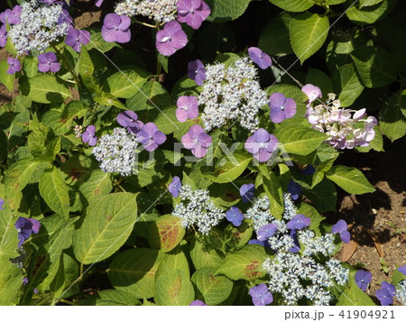 夏を彩る紫色のガクアジサイの花 41904921