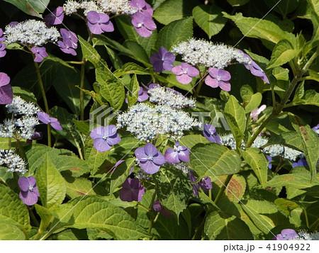 夏を彩る紫色のガクアジサイの花 41904922