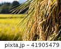 秋田県湯沢市 田園 杭掛け 天日乾燥(9月) 41905479