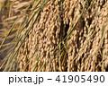 秋田県湯沢市 田園 杭掛け 天日乾燥(9月) 41905490