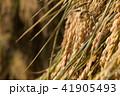 秋田県湯沢市 田園 杭掛け 天日乾燥(9月) 41905493
