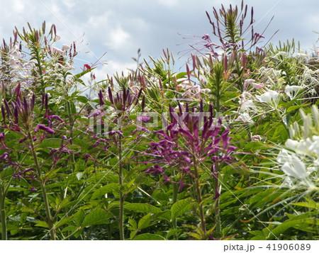 酔蝶花と呼ばれるクレオメの白色の花と紫色の花 41906089