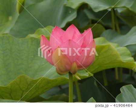 千葉公園のオオガハスの桃色の花 41906464