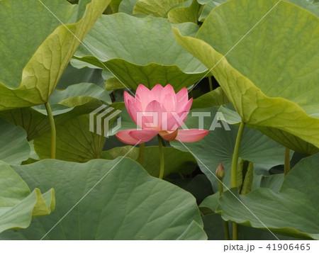 千葉公園のオオガハスの桃色の花 41906465