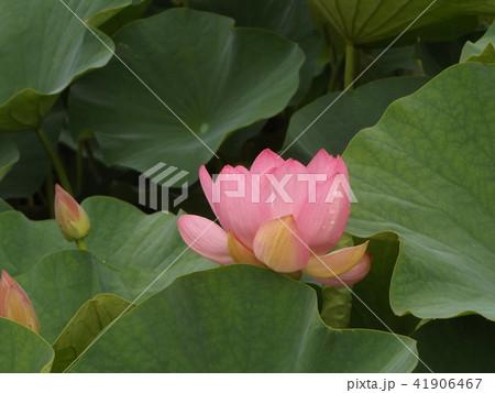 千葉公園のオオガハスの桃色の花 41906467