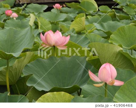 千葉公園のオオガハスの桃色の花 41906468