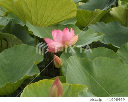 千葉公園のオオガハスの桃色の花 41906469